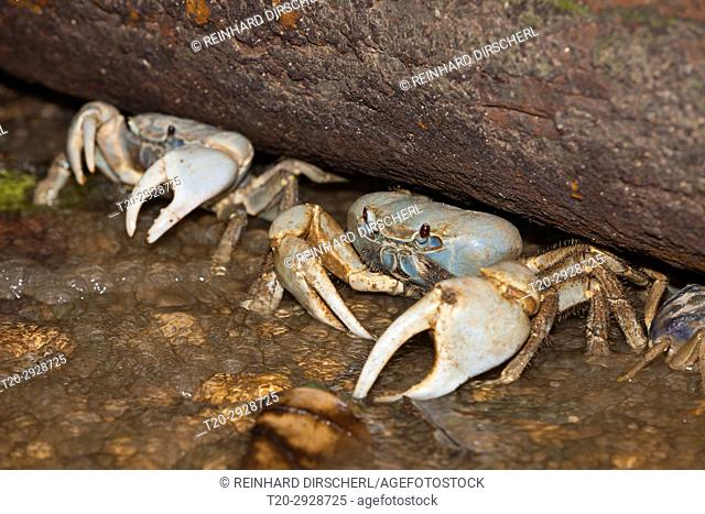 Christmas Island Blue Crab, Discoplax celeste, Christmas Island, Australia