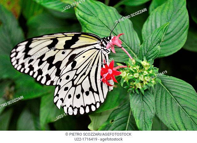 Iriomote Island Okinawa, Japan: Idea leuconoe at butterfly garden on the little island of Yubu-jima