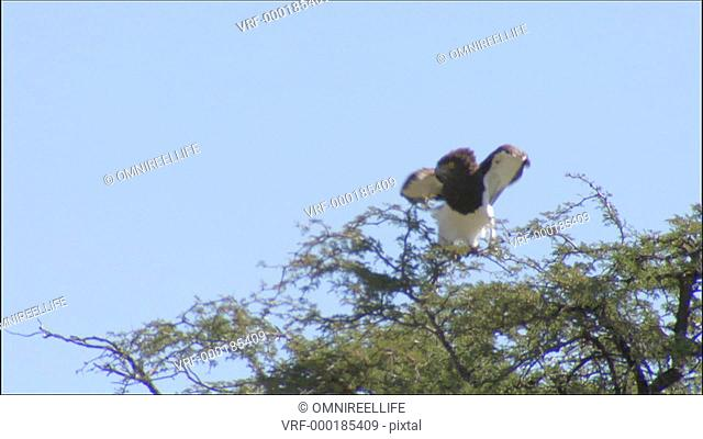 Black-breasted snake-eagle perched in tree before flying away