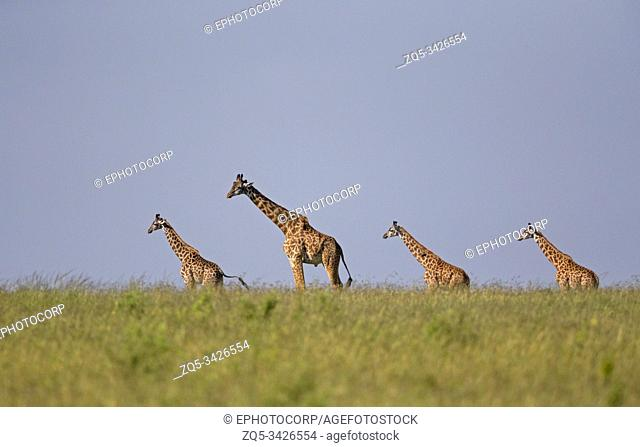 Four Giraffes, Maasai Mara, Africa