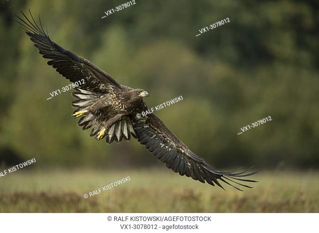 White-tailed Eagle / Sea Eagle ( Haliaeetus albicilla ) young adolescent in flight, stretched wings, huge wingspan, nice background, wildlife, Europe