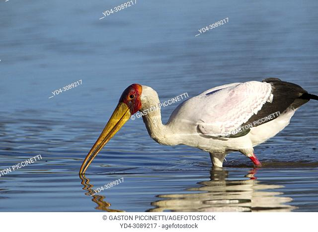 Yellow-billed Stork (Mycteria ibis) - Hunting in a pool. Okavango Delta, Moremi Game Reserve, Botswana