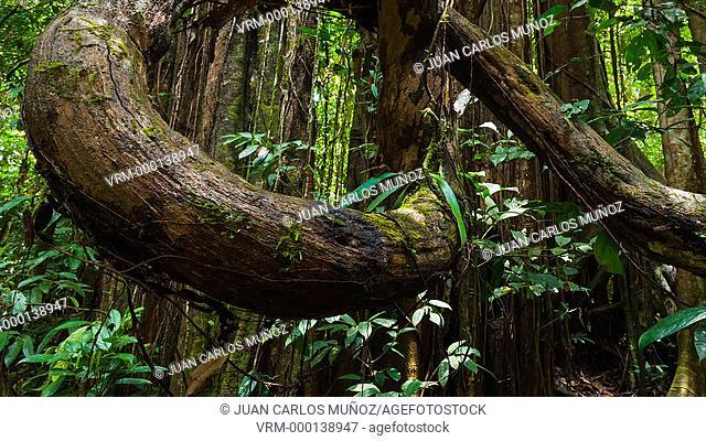 Ficus in rainforest of Borneo