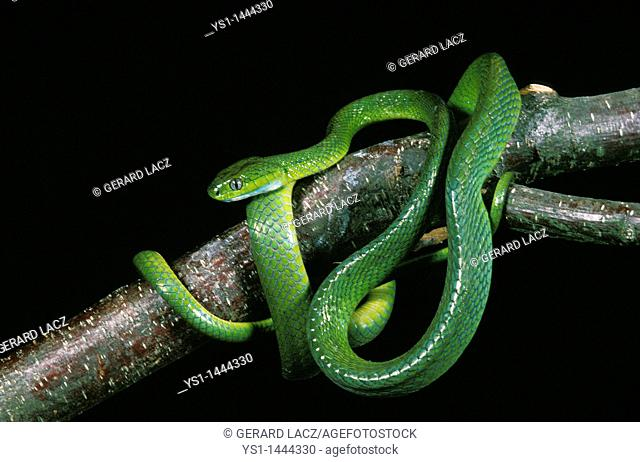 GREEN CAT SNAKE boiga cyanea, ADULT STANDING ON BRANCH, THAILLAND