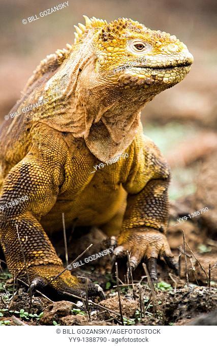 Galapagos Land Iguana - North Seymour Seymour Norte Island - Galapagos Islands, Ecuador