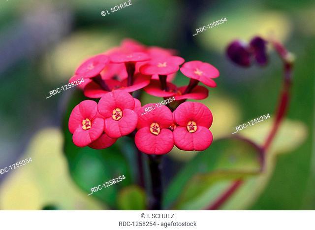 Christusdorn (Euphorbia milii), Afrika