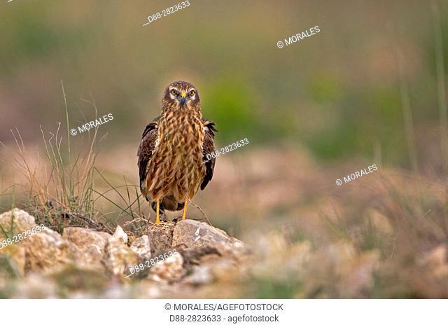 Spain, Catalonia, Pre-Pyrenees, Province of Lerida, Balaguer, Montagu's Harrier (Circus pygargus), adult female, on the ground