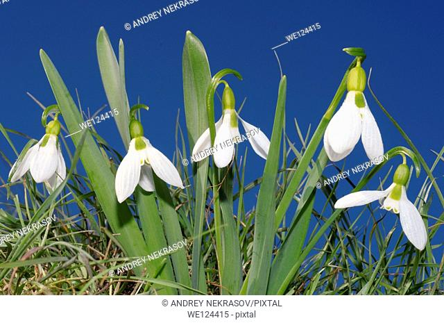 Galanthus or Snowdrop (Galanthus elwesii) Odessa region, Ukraine