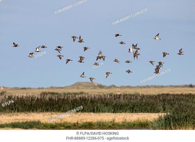 Golden Plovers flying late summer,Deepdale Marsh Norfolk