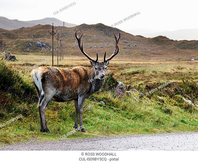 A highland deer looking over its shoulder from roadside, portrait, Achnasheen, Scottish Highlands, Scotland