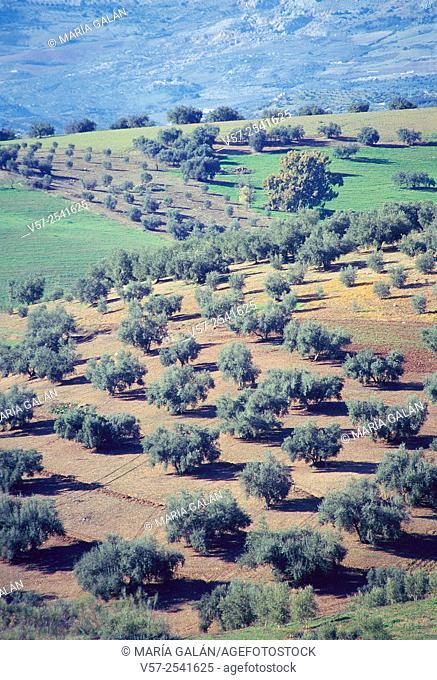 Olive groves. La Axarquia, Malaga province, Andalucia, Spain
