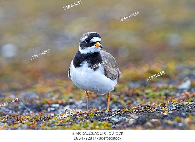 Norway , Spitzbergern , Svalbard , Ny-Alesund , Common Ringed Plover or Ringed Plover Charadrius hiaticula , near the nest