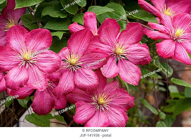 clematis hybrid - blossoms