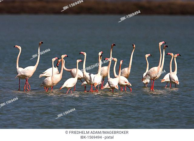 American flamingo (Phoenicopterus ruber), flock standing in shallow water, Camargue, France, Europe