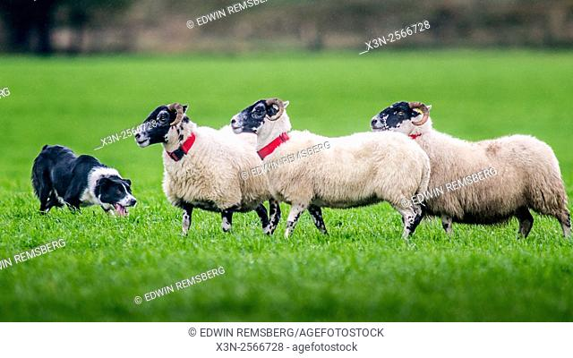 Border Collie herding sheep at International Sheep Dog Trials in Moffat, Scotland, UK