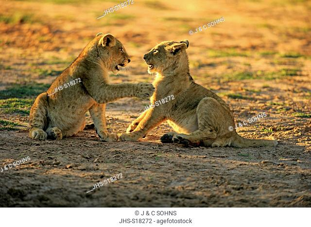 Lion, (Panthera leo), two youngs four month old playing, Tswalu Game Reserve, Kalahari, Northern Cape, South Africa, Africa