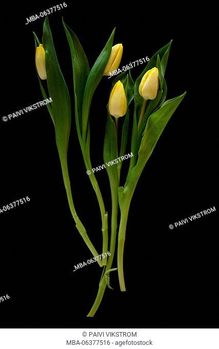 bloom,bunch,celebration,closeup,decoration,easter,flora,floral,flower,fresh,gift,green,leaf,natural,nature,petal,plant,pretty,romance,season,spring,tulip