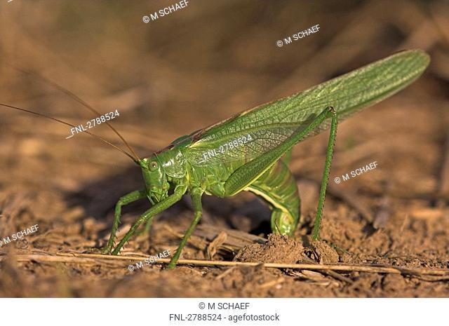 Close-up of Great green bush-cricket Tettigonia viridissima in field