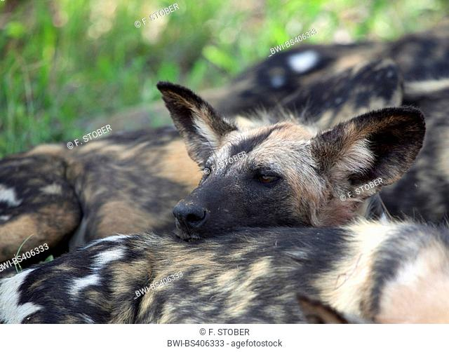 African wild dog, African hunting dog, Cape hunting dog, Painted dog, Painted wolf, Painted hunting dog, Spotted dog, Ornate wolf (Lycaon pictus), portrait