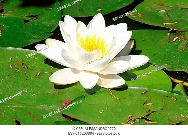 White waterlily flower, Nymphaea Alba