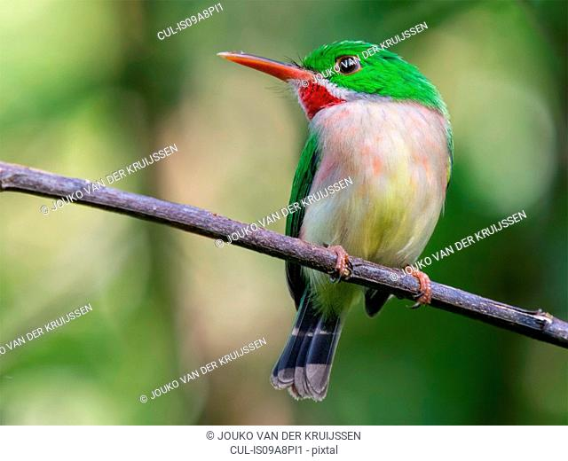 Broad-billed Tody (Todus subulatus), Jarabacoa, La Vega, Dominican Republic