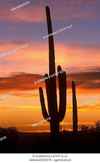 Saguaro Cactus silhouetted against AZ Sunset, Saguaro N.P