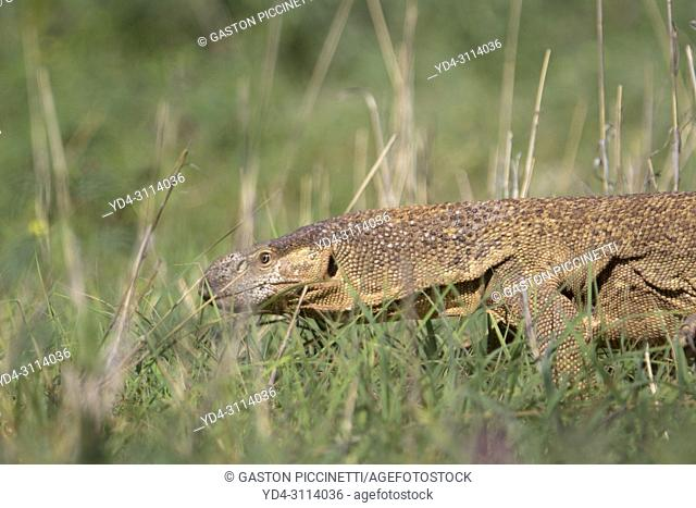 Monitor lizards (genus Varanus), Kalahari desert, Kgalagadi Transfrontier Park, South Africa