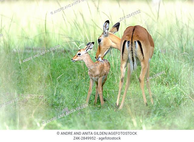 Impala (Aepyceros melampus) mother and new born infant, the mother is still cleaning the baby,Maasai Mara Nationa Reserve, Kenya