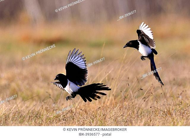 Magpies (Pica pica), two birds in flight, Poland