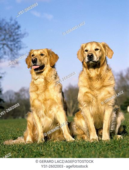 Golden Retriever, Dogs sitting on Grass