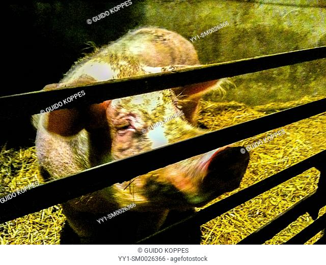 Tilburg, Netherlands. A pregnant, female pig just ment for breeding fresh meat spends her time in a small, enclosed space inside a pig farm