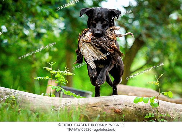 jumping Labrador Retriever