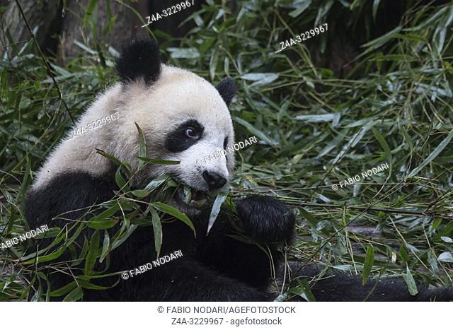 Close up of a Giant Panda (Ailuropoda melanoleuca) in Chengdu - Sichuan, China
