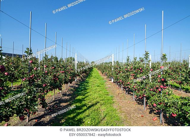 Apple orchard during apple harvesting. Wide view