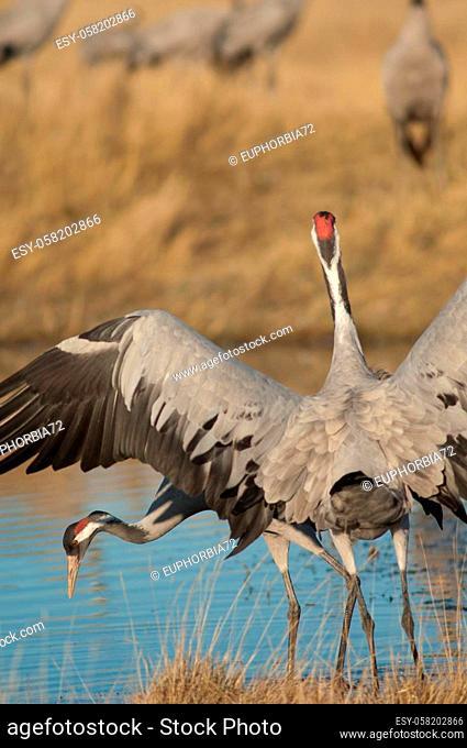 Common cranes Grus grus in a lagoon. Gallocanta Lagoon Natural Reserve. Aragon. Spain