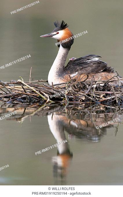 Great Crested Grebe mit chick, Podiceps cristatus / Haubentaucher mit Küken, Podiceps cristatus