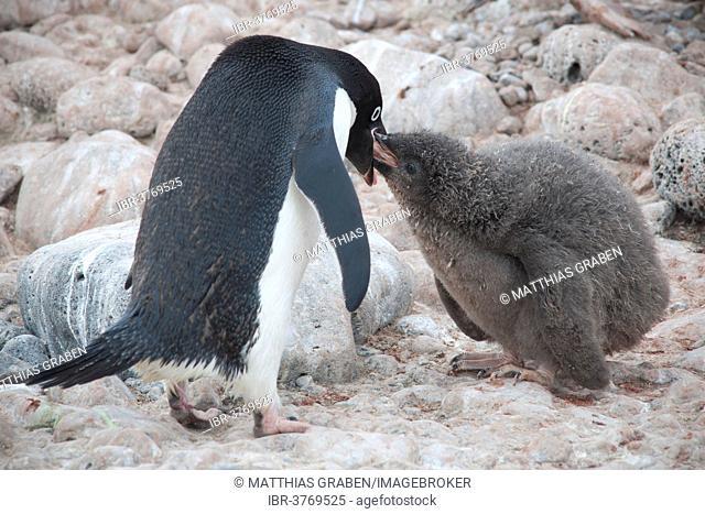 Adélie Penguin (Pygoscelis adeliae) feeding a chick, Paulet Island, Antarctic Peninsula, Antarctica
