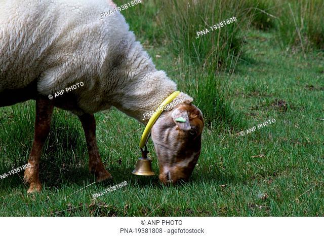 sheep Ovis domesticus - Wierdense veld, Nijverdal, Twente, Overijssel, The Netherlands, Holland, Europe