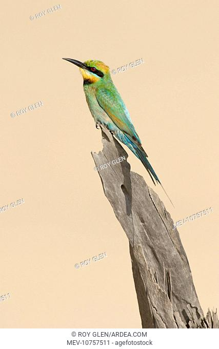 Rainbow Bee-Eater - Perched on a favourite vantage point to hunt for insects among sand dunes. (Merops ornatus)