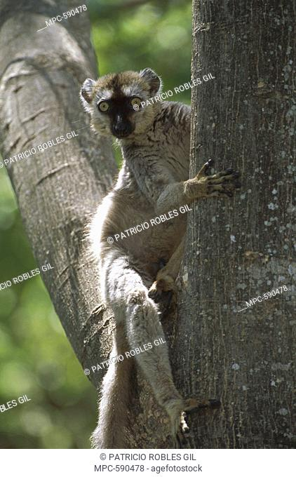 Common Brown Lemur Eulemur fulvus, in tree, Anjajavy, North western Madagascar