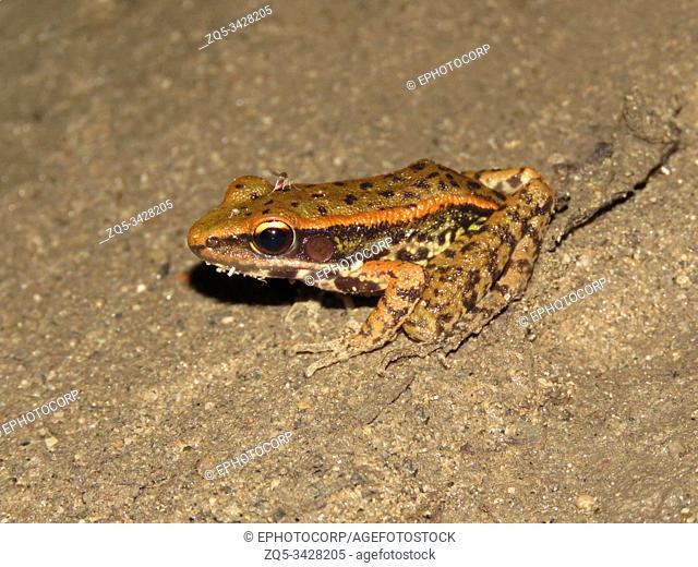 Assam forest frog, Hylarana leptoglossa, Nameri Tiger Reserve, Assam, India