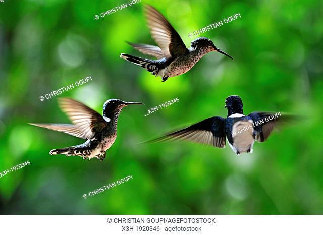 Florisuga mellivora, White-necked Jacobin hovering, Soberania National Park, Republic of Panama, Central America