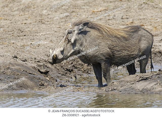 Common warthog (Phacochoerus africanus), adult standing in water at a waterhole, Kruger National Park, South Africa, Africa