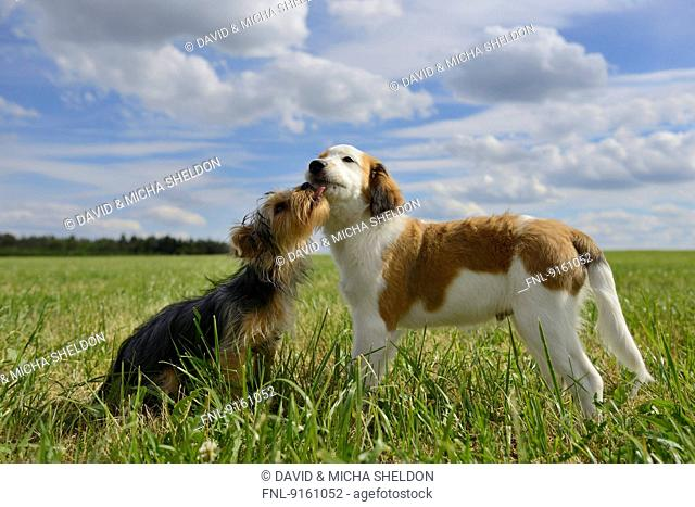 Nederlandse Kooikerhondje and Yorkshire Terrier, Upper Palatinate, Germany, Europe