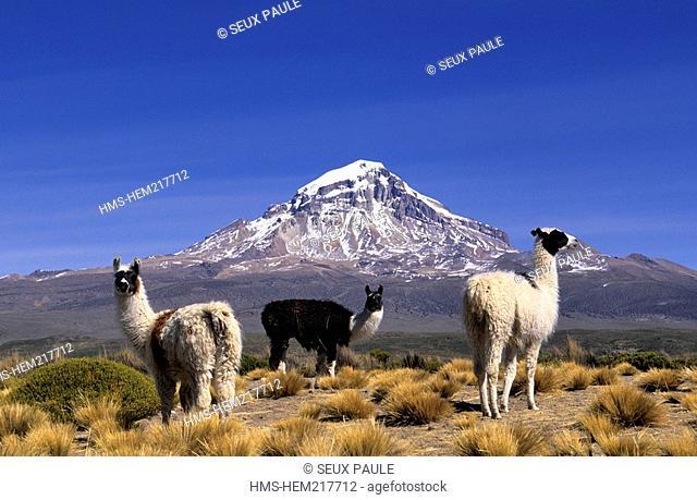 Bolivia, Oruro Department, Sajama Province, Sajama National Park, SajamaVolcano, alpacas