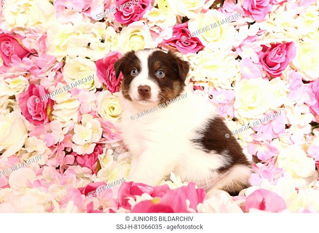Australian Shepherd. Puppy (6 weeks old) sitting among rose flowers. Studio picture. Germany