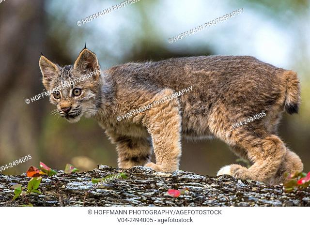 Startled little Canadian Lynx kitten (Lynx canadensis), captive, Montana, USA