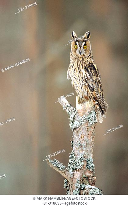 Long-eared owl (Asio otus). Adult perched on branch of silver birch. Strathspey. Scotland. UK
