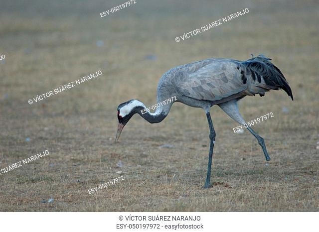 Common crane (Grus grus) without part of one leg searching for food. Gallocanta Lagoon Natural Reserve. Aragon. Spain