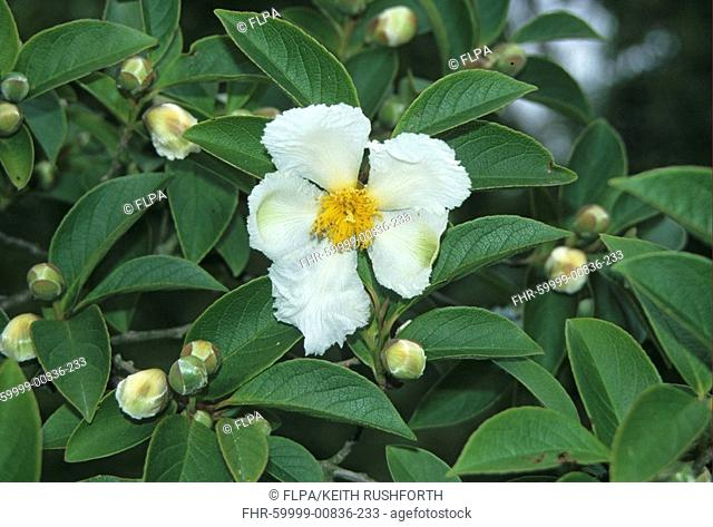 Deciduous Camellia Stewartia pseudocamellia leaf and flower